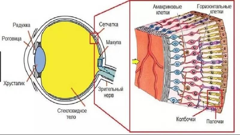 Изображение предметов на сетчатке глаза, что такое сетчатка