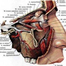 Подглазничный нерв: анатомия