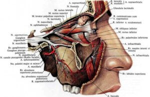 Подглазничный нерв