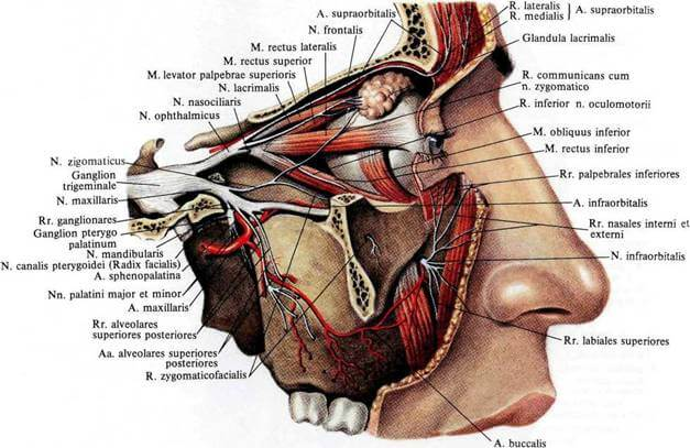 Подглазничный нерв: строение, назначение в организме и возможные патологии