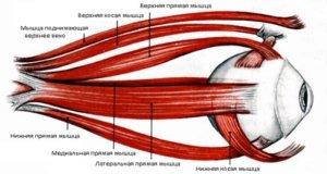 Мышцы глаза: анатомия