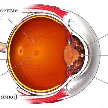 На фото изображена анатомия глазного яблока, самый внутренний его слой это сетчатка